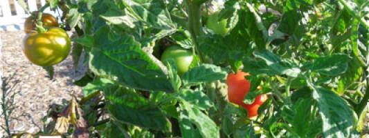 Save Tomato Seed
