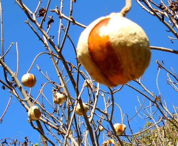 California Buckeye Seed Horse Chestnut uses poisionous about how to