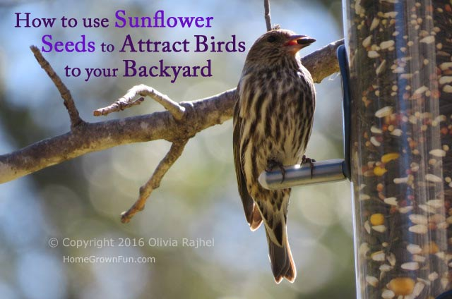 Sunflowers types for birds - All About Sunflower Seeds To Attract Birds Home Grown Fun