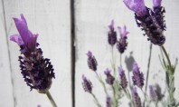 Learning about Lavender