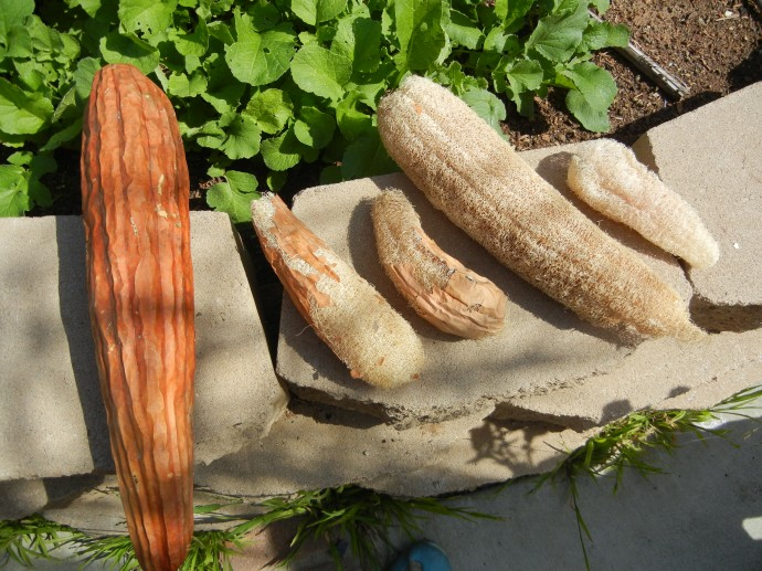 grow your own loofah sponges with video  home grown fun