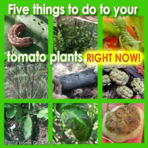 Five Things To Do To Your Tomatoes RIGHT NOW
