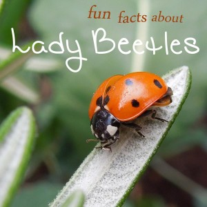ladybug facts for kids