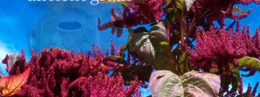 HOW TO GROW Amaranth