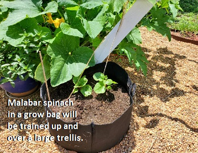 How to Eat Malabar Spinach How to Grow