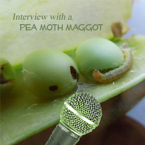 Interview with a Pea Moth Maggot