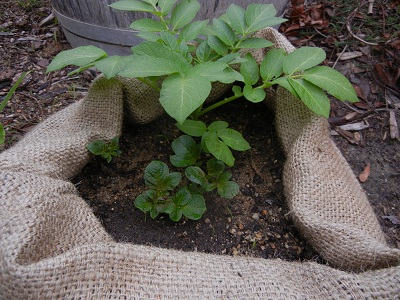 how to grow potatoes in bags video