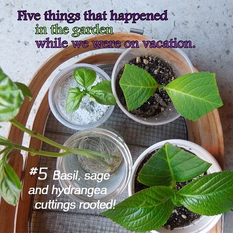 How to propagate hydrangea cuttings while on vacation