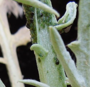 10 Tips to Control Aphids Plus a Flowchart Action Plan