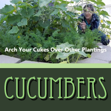 HOW TO Grow Cucumbers Over Other Plants to Save Space