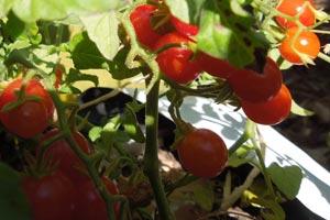 currant-tomato