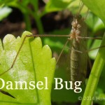 damsel bug attract