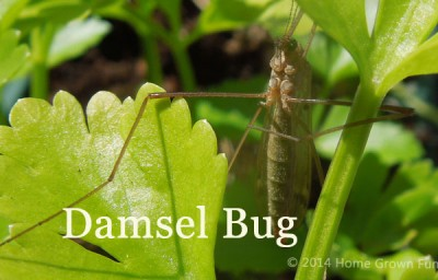 Damsel Bug - Good Bug? Bad Bug?