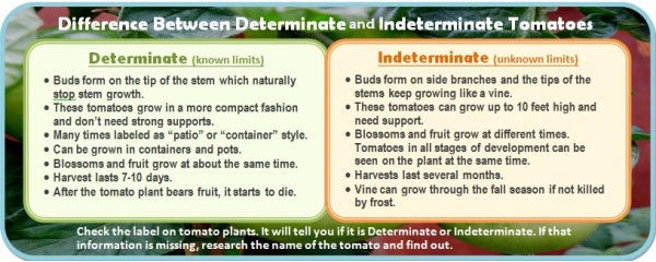 Indeterminate tomato features