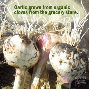 HOW TO Grow Garlic from the GROCERY STORE