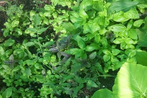 exotic-basil-types-home-grown-fun