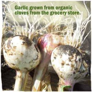 how to grow garlic from the grocery store farmers market or certified seed home grown fun. Black Bedroom Furniture Sets. Home Design Ideas