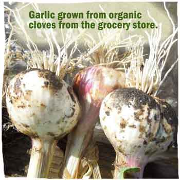 Grow Garlic From Grocery