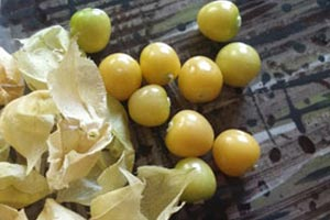 ground cherries how to grow