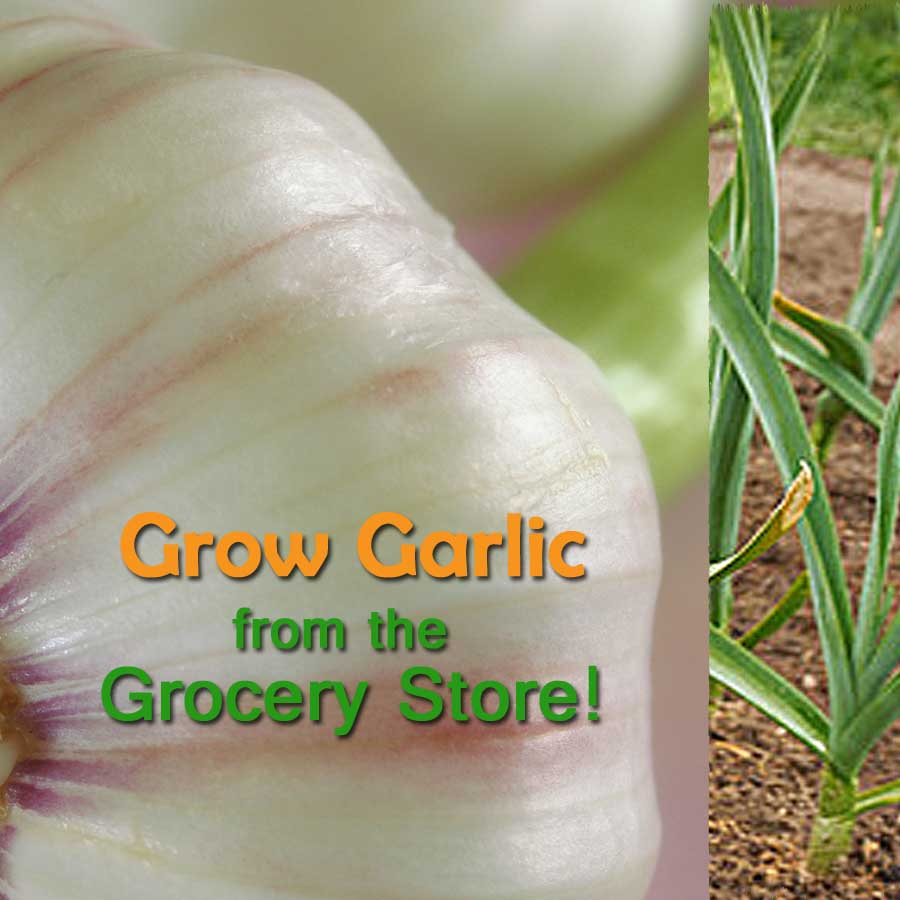 How To Grow Garlic from the Grocery Store, Farmers Market or