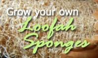 grow loofah sponges luffa gourds