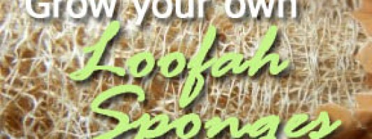 grow loofah sponges luffa gourds