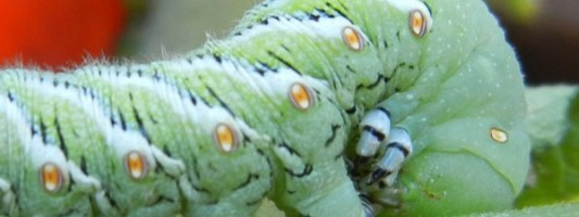 How to Get Rid of the Tomato Hornworm