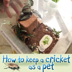 How to Keep a Cricket as a Pet