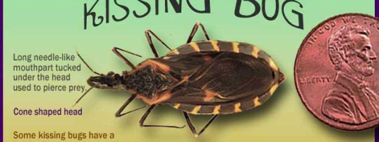 kissing bug facts