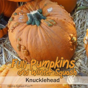 knucklehead pumpkin seeds uses winter squash types