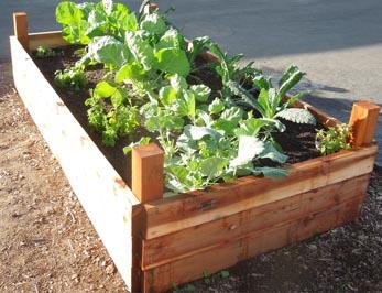 grow kohlrabi in raised bed