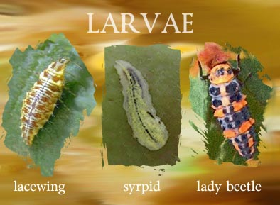 larvea of lacewing lady bug and syrpid fly