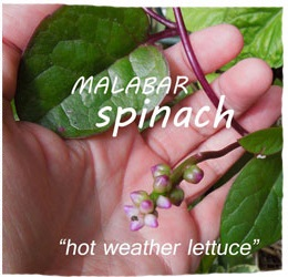 All About Malabar Spinach - Grow, Eat and Craft!
