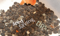 how to save tomato seed at home