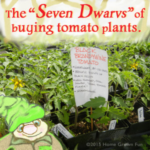 How To Buy Tomato Plants - Common Problems to Avoid