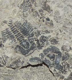 trilobite fossil delta utah multiple